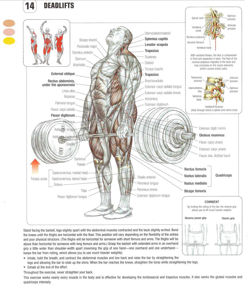 The DEADLIFT Exercise Anatomy