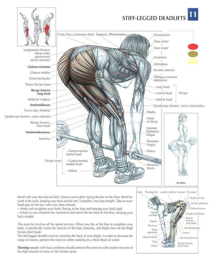 The ANATOMY of Stiff Leg Deadlift