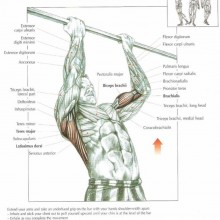 The ANATOMY of Chip Ups Exercise