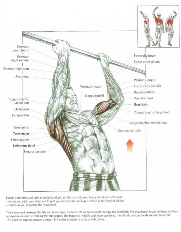 The ANATOMY of Chin Ups Exercise
