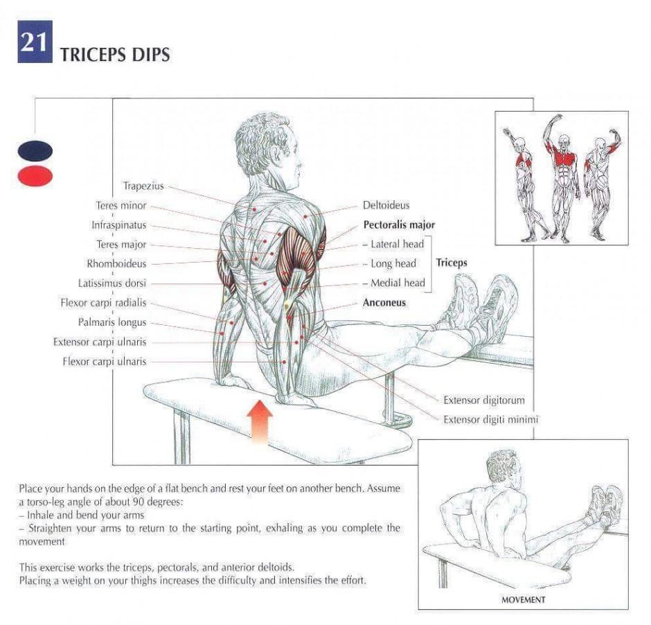 Tricep-dip-anatomy